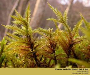 Climacium_dendroides_H1.jpg