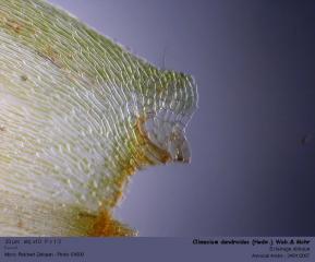 Climacium_dendroides_H2.jpg