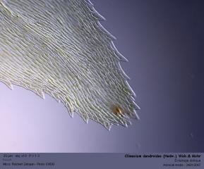 Climacium_dendroides_som_f.jpg