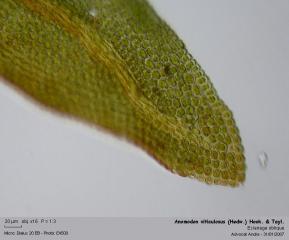 Anomodon_viticulosus_He4.jpg