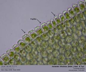 Anomodon_viticulosus_33.jpg