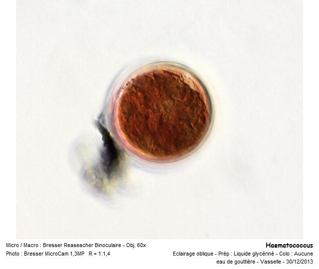 haematococcus2.jpg