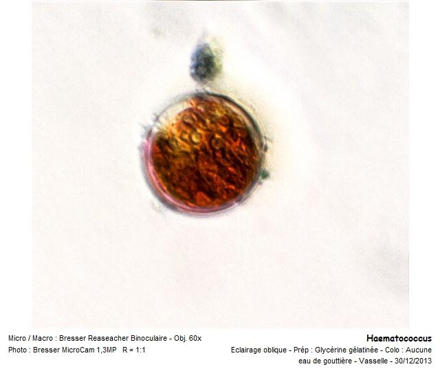haematococcus.jpg