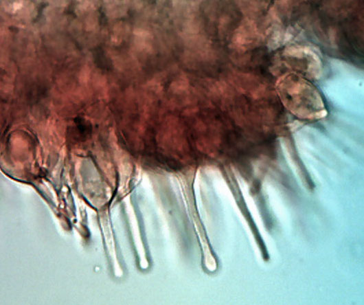 Alnicola melinoides.jpg