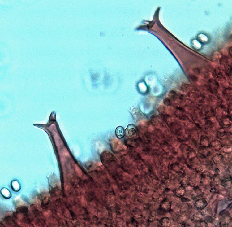 Pluteus salicinus.jpg