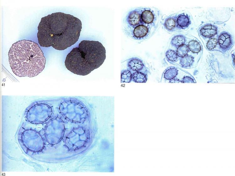 Tuber mesentericum 2.jpg