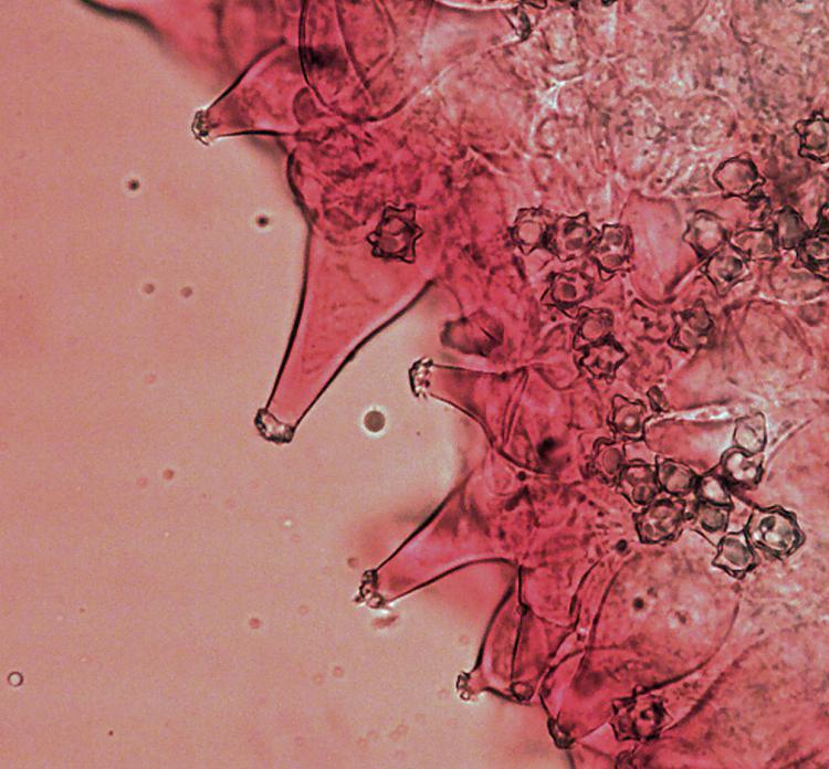 Inocybe asterospora.jpg