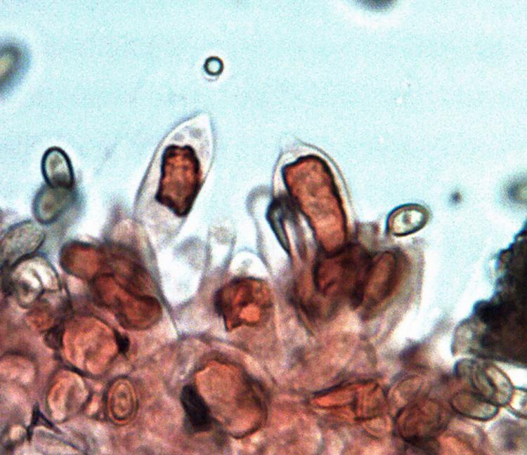 Stropharia caerulea.jpg