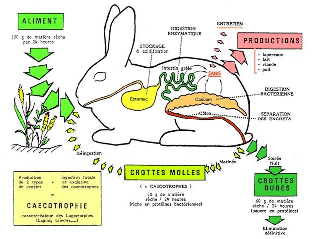 intestin lapin texte 14 .jpg