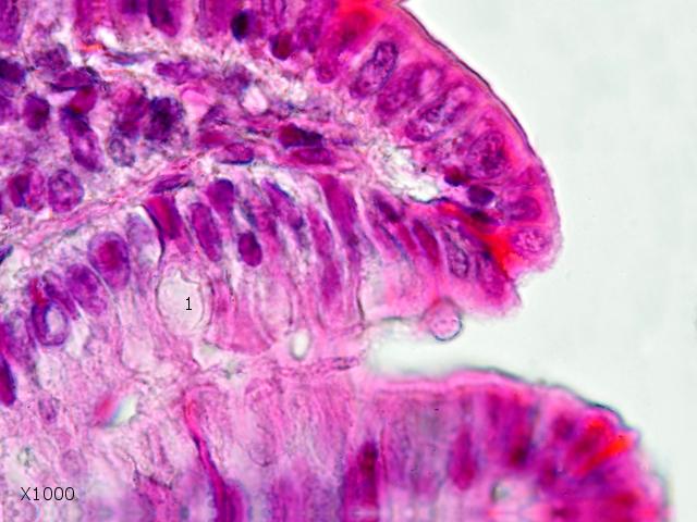intestin lapin texte 12.jpg