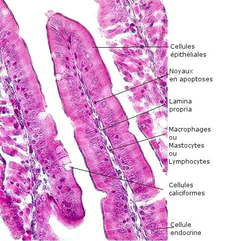 intestin lapin texte 3.jpg
