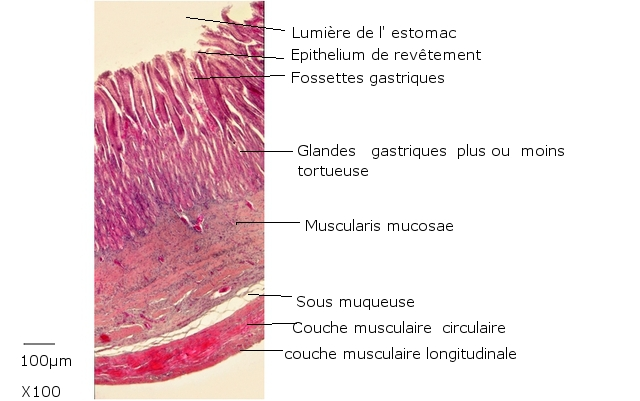 estomac poisson texte 11 .jpg