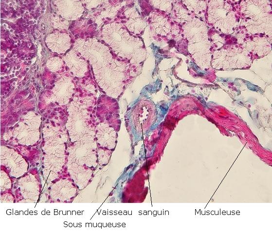 intestin lapin texte 4.jpg