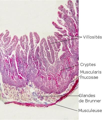 intestin lapin texte 2.jpg