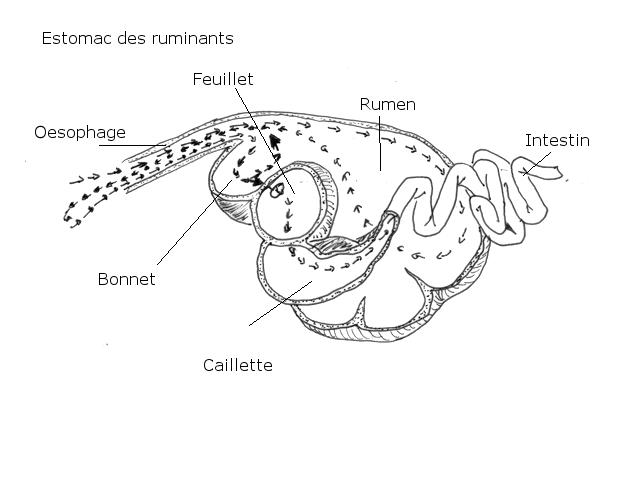 intestin lapin texte 13.jpg