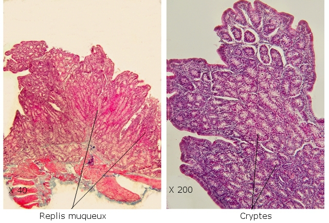 intestin lapin texte 11.jpg