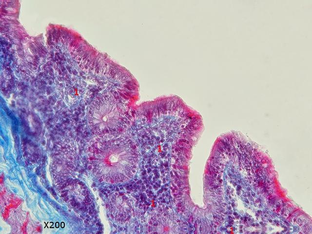 intestin lapin texte 7.jpg