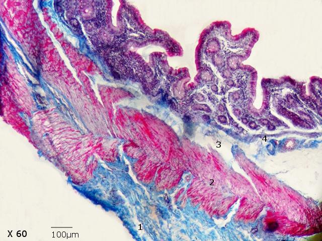 intestin lapin texte 6.jpg