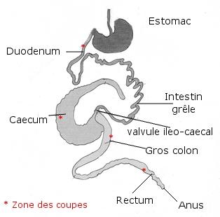 intestin lapin texte 1 .jpg