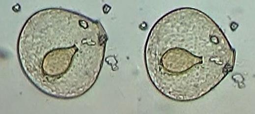 beb-flabellulum.jpg