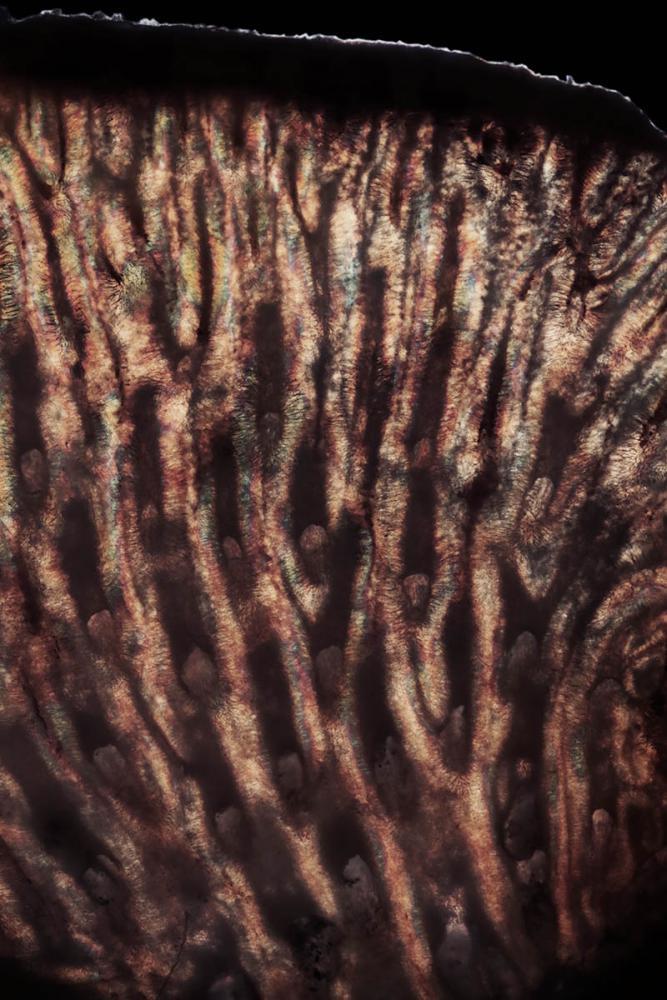 myliobatis 3_V9.jpg