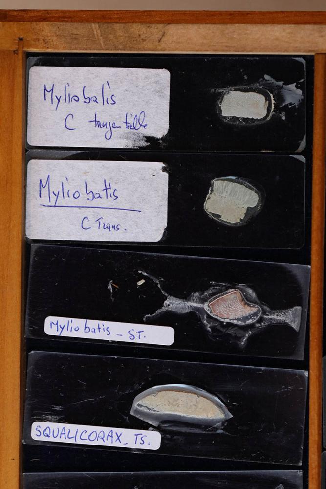 myliobatis P5.jpg