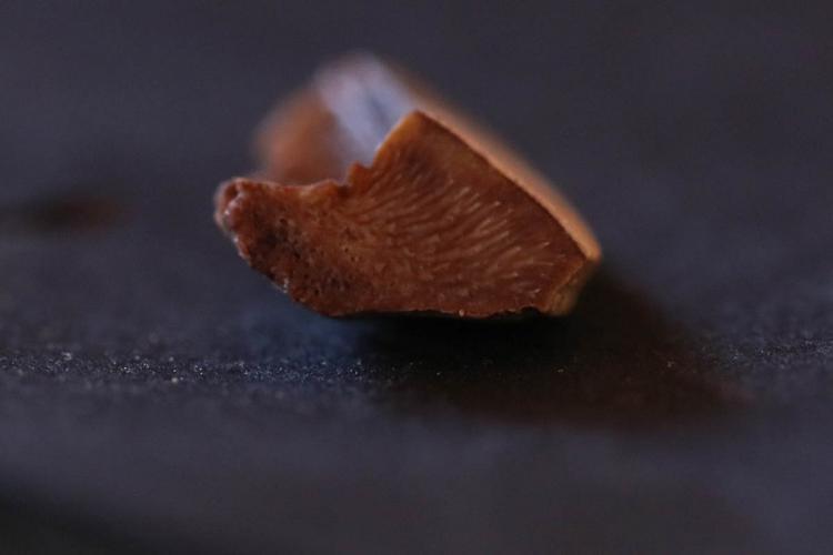 myliobatis P1.jpg
