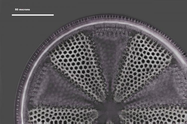 actinoptychus _V3.jpg