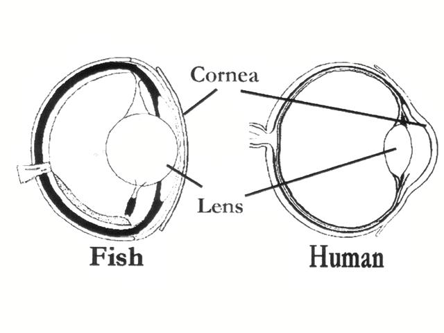 oeil poisson texte 6.jpg