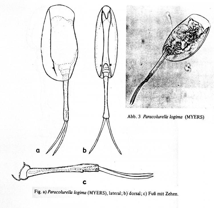 Paracolurella logima (Myers, 1934) Koste, 1972.jpg