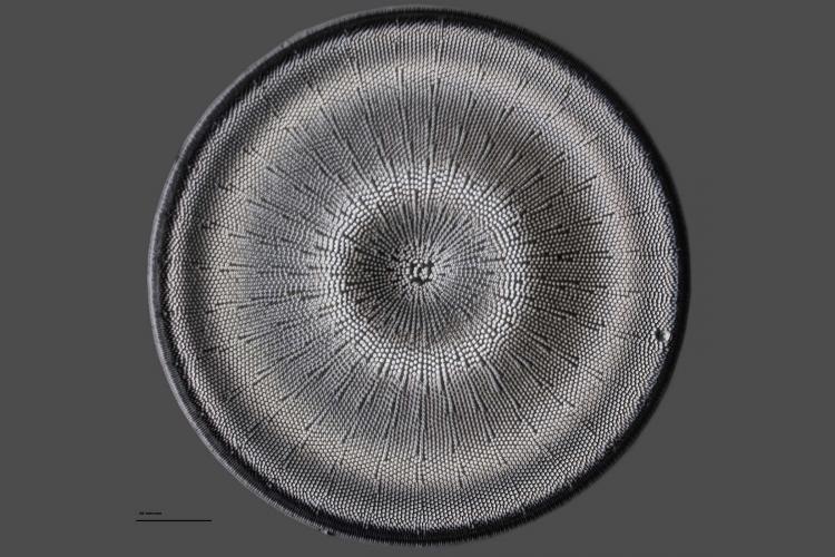 Actinocyclus ehrenbergii 11_V9.jpg