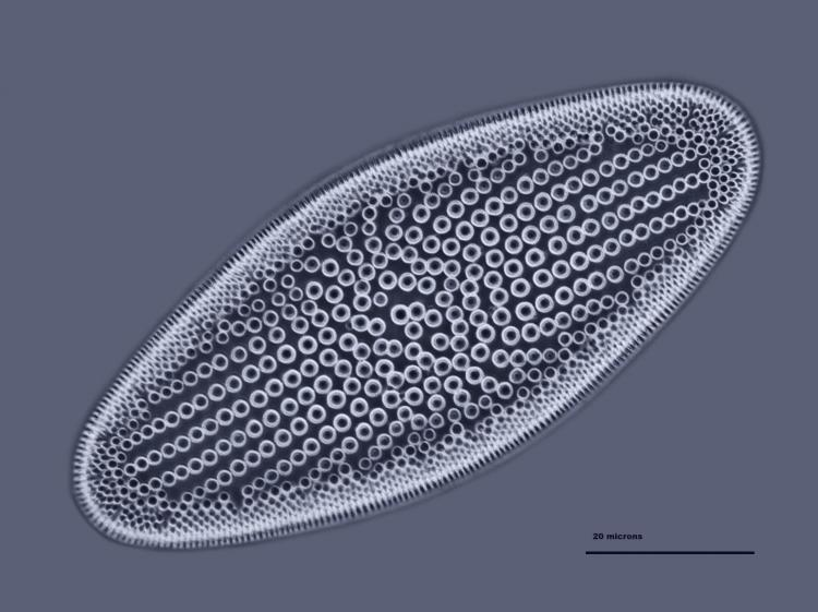 Coscinodiscus lewislanus 44_V9.jpg