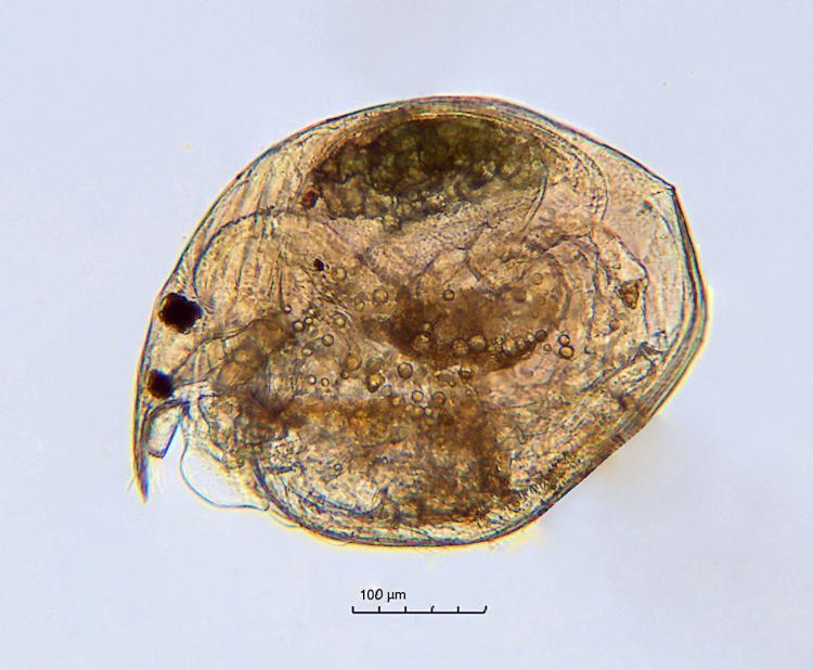 Chydorus-sp.jpg
