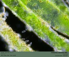 Achnanthes_lanceolata_1.jpg