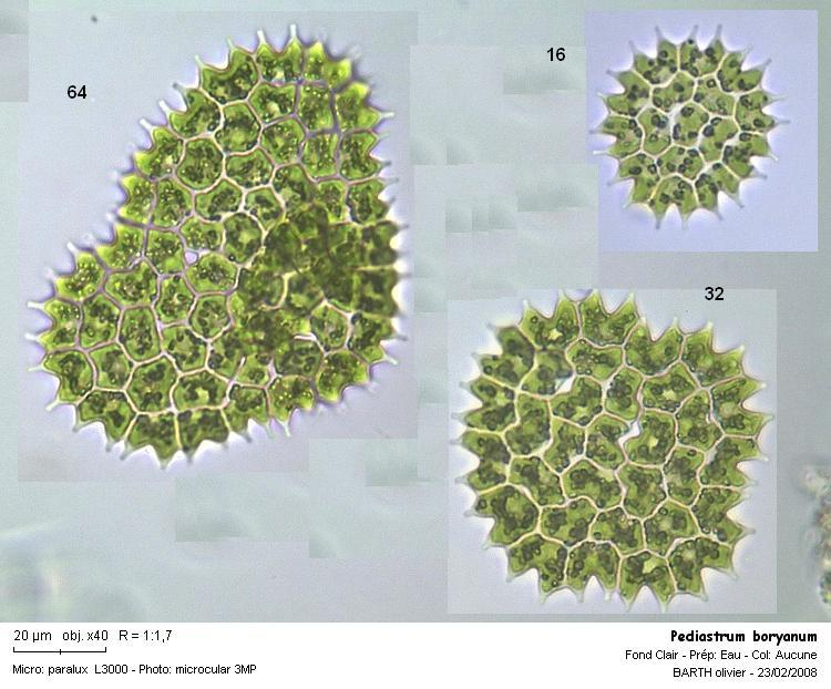 Pediastrum_boryanum_mix.JPG