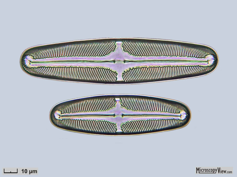 Pinnularia episcopalis Cleve__1000x__36x150__32x108um.jpg