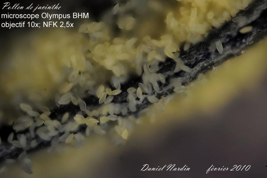 pollenJacinthe10xFNabr.jpg