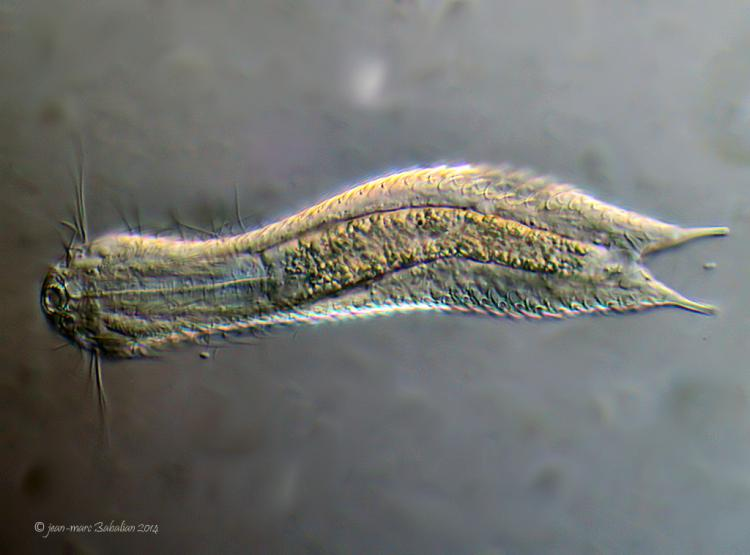 Aspidiophorus sp 40 DIC 20-02-14 c.jpg