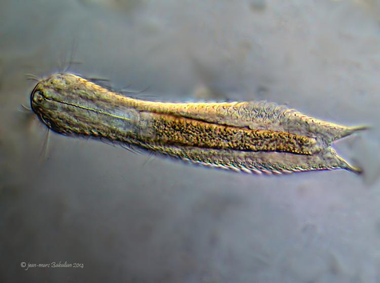 Aspidiophorus sp 40 DIC 20-02-14 a.jpg