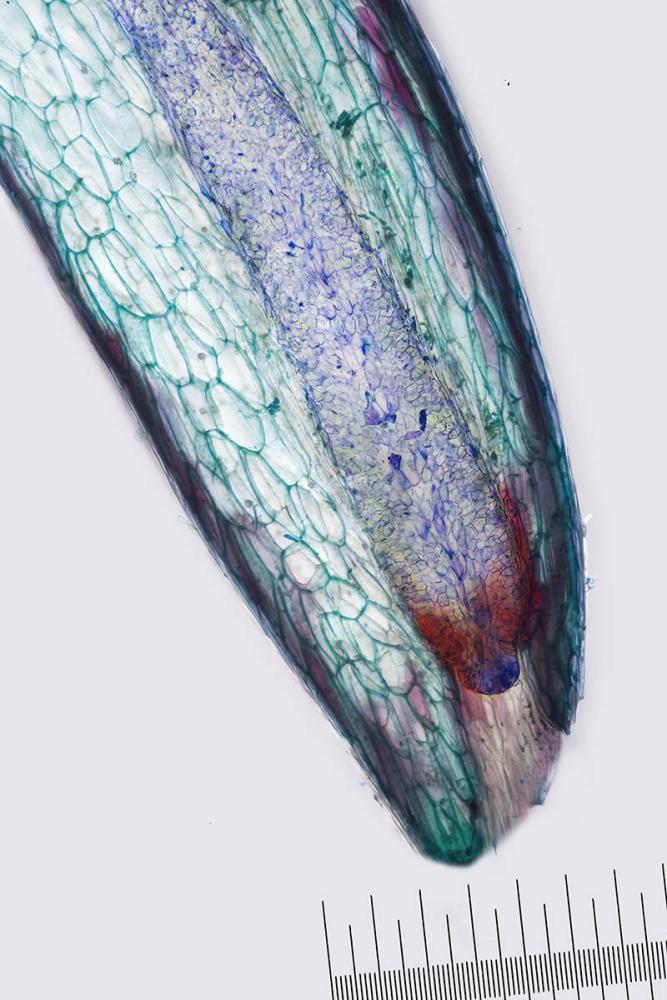 glande nectar nepenthes 3_V9.jpg