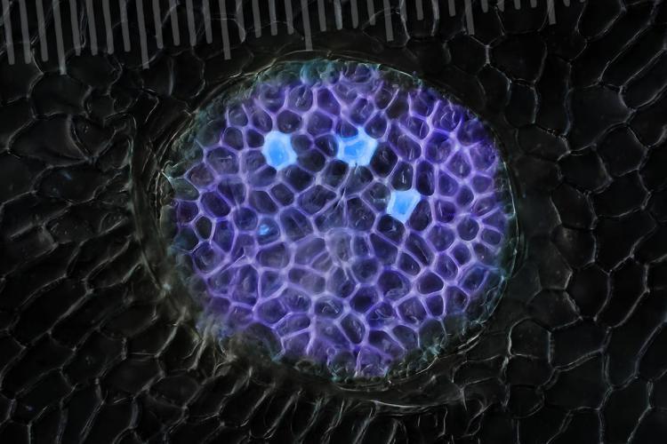 glandes digestives nepenthes 6_V9.jpg
