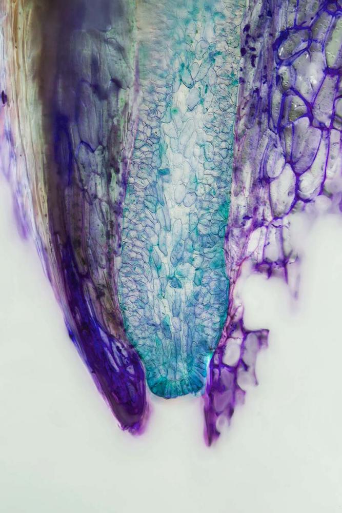 glande nectar nepenthes 4_V9.jpg