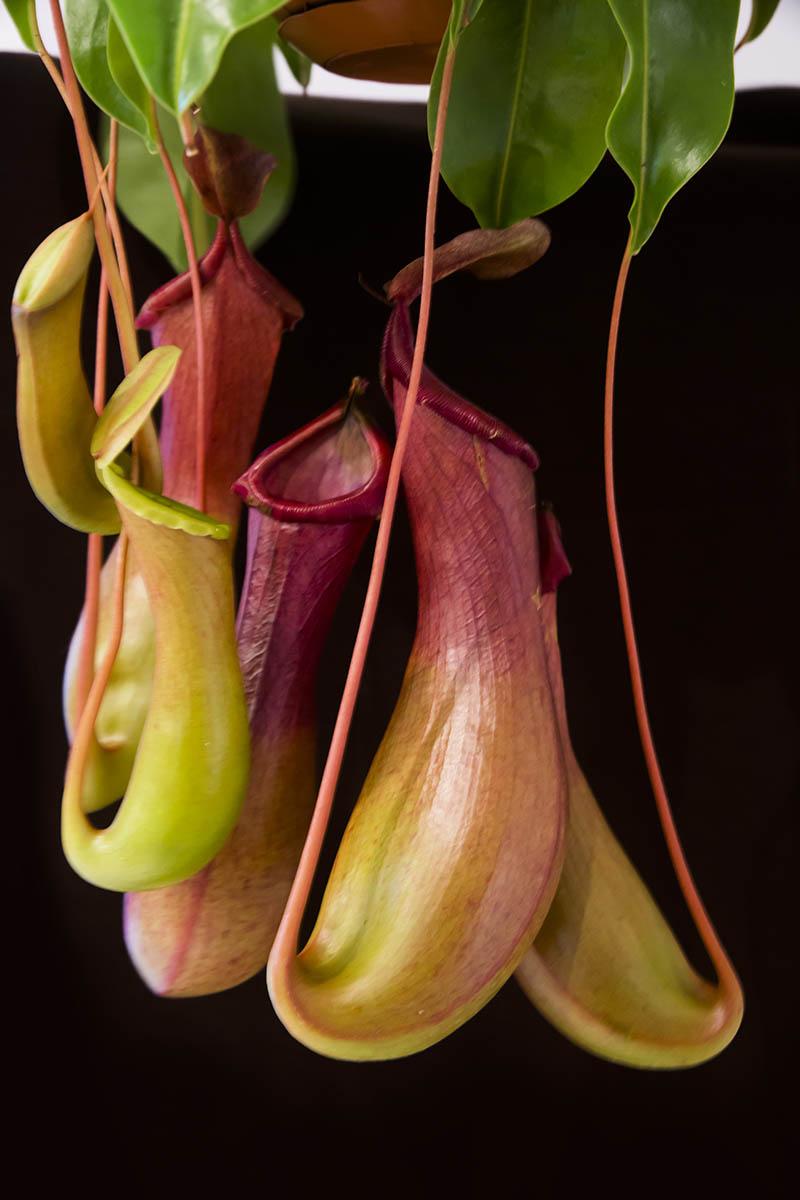 plante carnivore hydrophobe