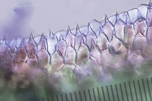 épiderme plante carnivore_V11.jpg