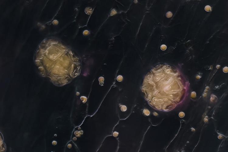 aldrovanda glandes digestives 1_V9.jpg
