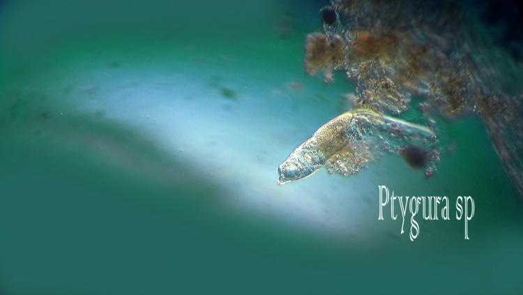 ptygura-sp.jpg