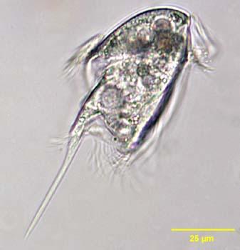 caenomorpha_sapropelica_1107726914_wbw.jpg