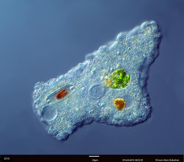 Amibe Proteus 40 DIC 07-01-16 .jpg