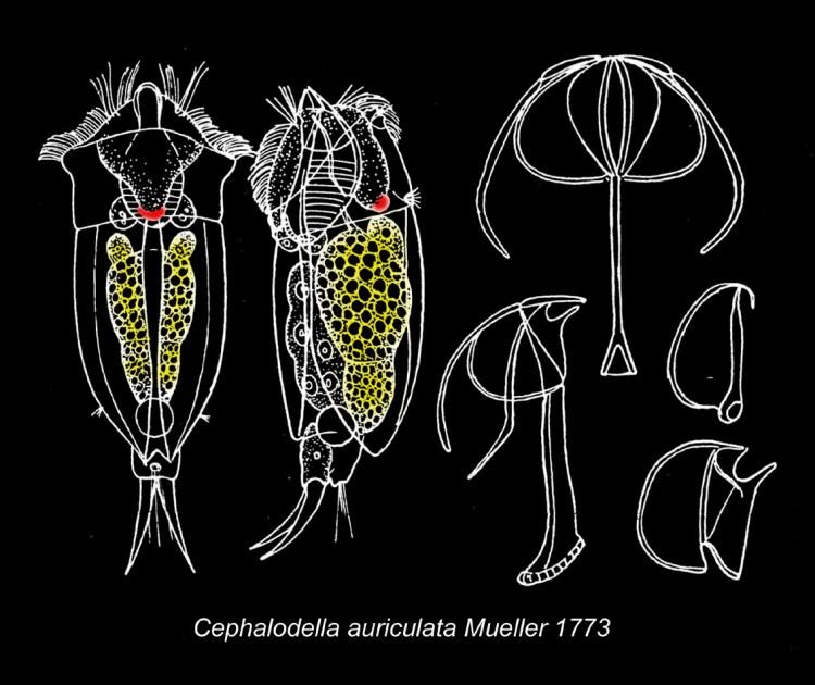 Cephalodella auriculata (Müller, 1773) Wulfert, 1937.jpg
