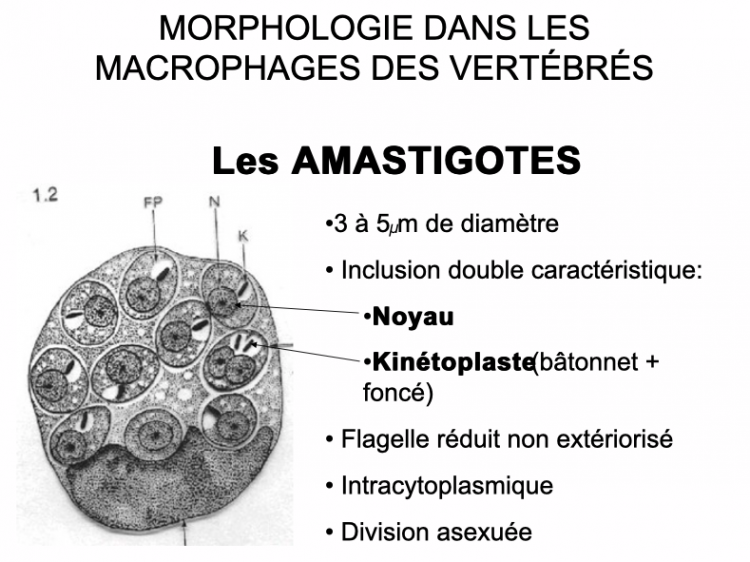 Amastigote.png